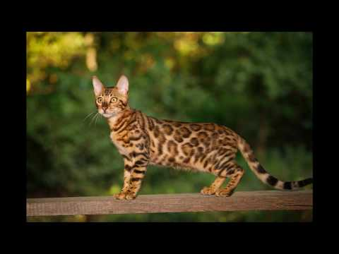 10 Most Expensive Cat Breeds