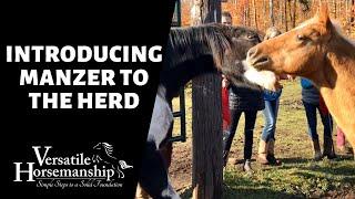INTRODUCING MANZER TO THE HERD // Versatile Horsemanship