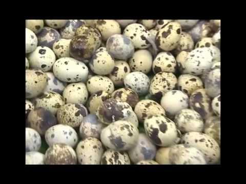 Маринованные перепелиные яйца : Мои вкусности