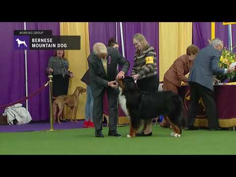Bernese Mountain Dogs | Breed Judging 2019