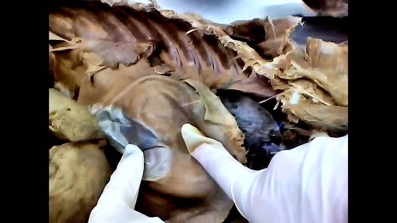 Musculos Diafragma, Sublombar e Torax - YouTube