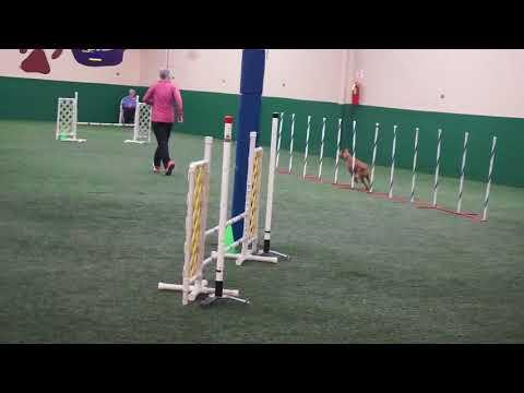 Irish Terrier Harper AG 4 Q's 2017-12 02-03