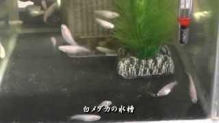 白メダカの交尾と産卵