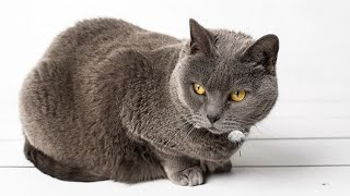 Gato cartujo (Chartreux)  Hogarmanía