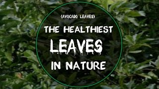 Avocado Leaves Healthiest Leaves Nature