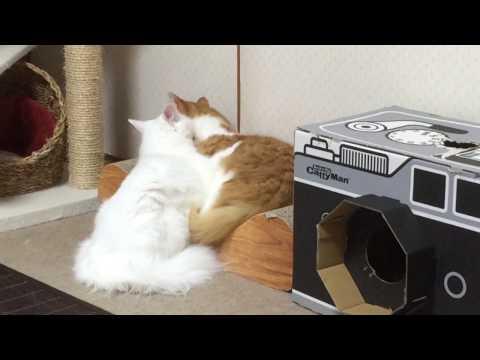 いちゃつく猫 flirt cat  ノルウェージャンフォレストキャット Norwegian Forest Cat