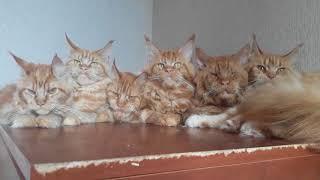 Большие кошки породы мейн кун