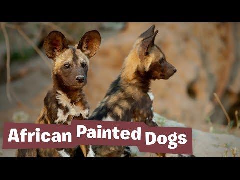 African Painted Dog Project - Endangered Species Revenge
