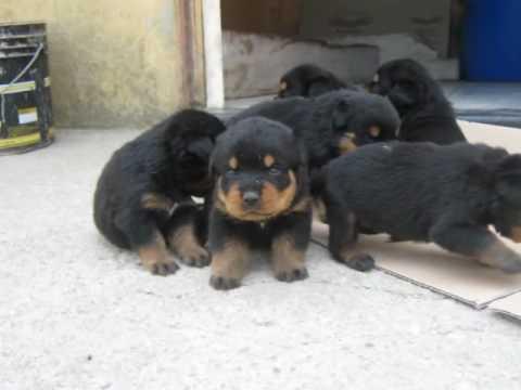 Cuccioli-di-rottweiler-youtube