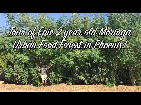 Tour of Epic 2 year old Moringa Urban Food Forest in Phoenix! - EP103