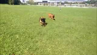 Ridgeback, Rottweiler, Schnauzer And Beagle At The Dog Park