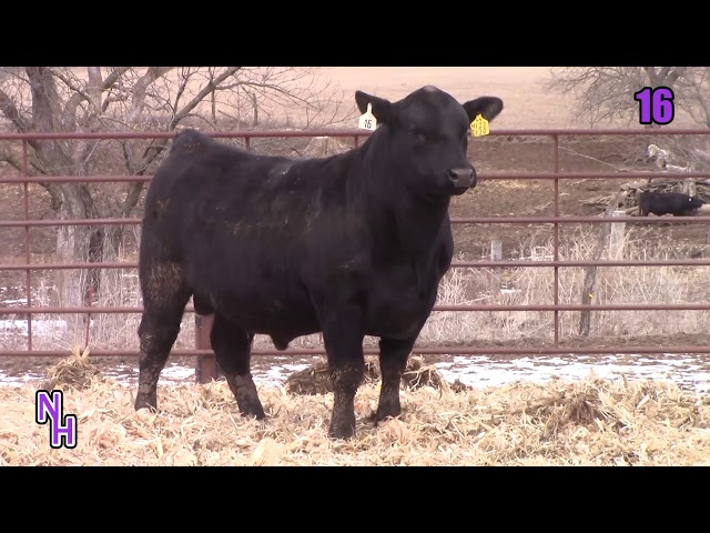 New Haven Angus Lot 16