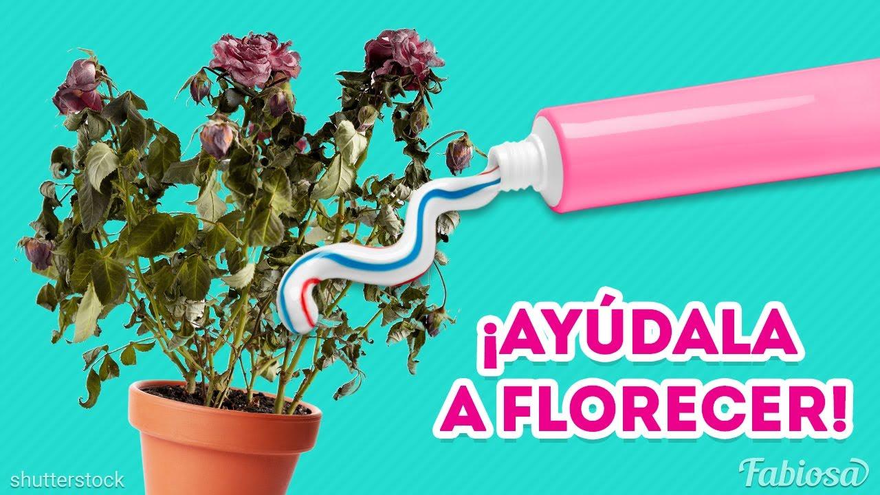 Cómo ayudar a las rosas a florecer | Jardinería de departamento