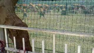 Cancuun Cavallino 2009 Joker