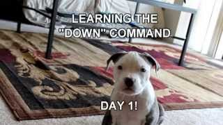 "See Ham Learn - Puppy Training - ""down"" Command - Day 1"