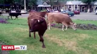 Վանաձորի կենտրոնական հրապարակի ծաղկանոցում կովեր են արածում