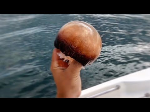 Using Jellyfish As Bait! (Plus Flounder Jigging On Anchor)