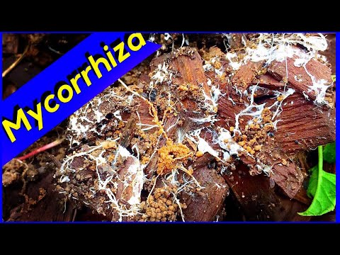 Mycelium Growth - Wood Chips - Mycorrhiza