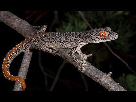 Spider Gecko