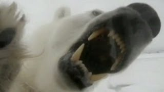 Polar Bear Attack Video 2013: Maine Lawyer Attacked by Polar Bear