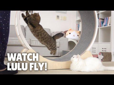 Run LuLu Run! Extreme Cat Wheel Workout!   Kittisaurus