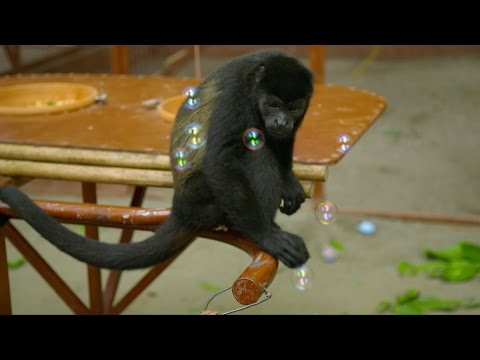 Monkeys bursting bubbles - Nature's Miracle Orphans: Series 2 Episode 3 - BBC One