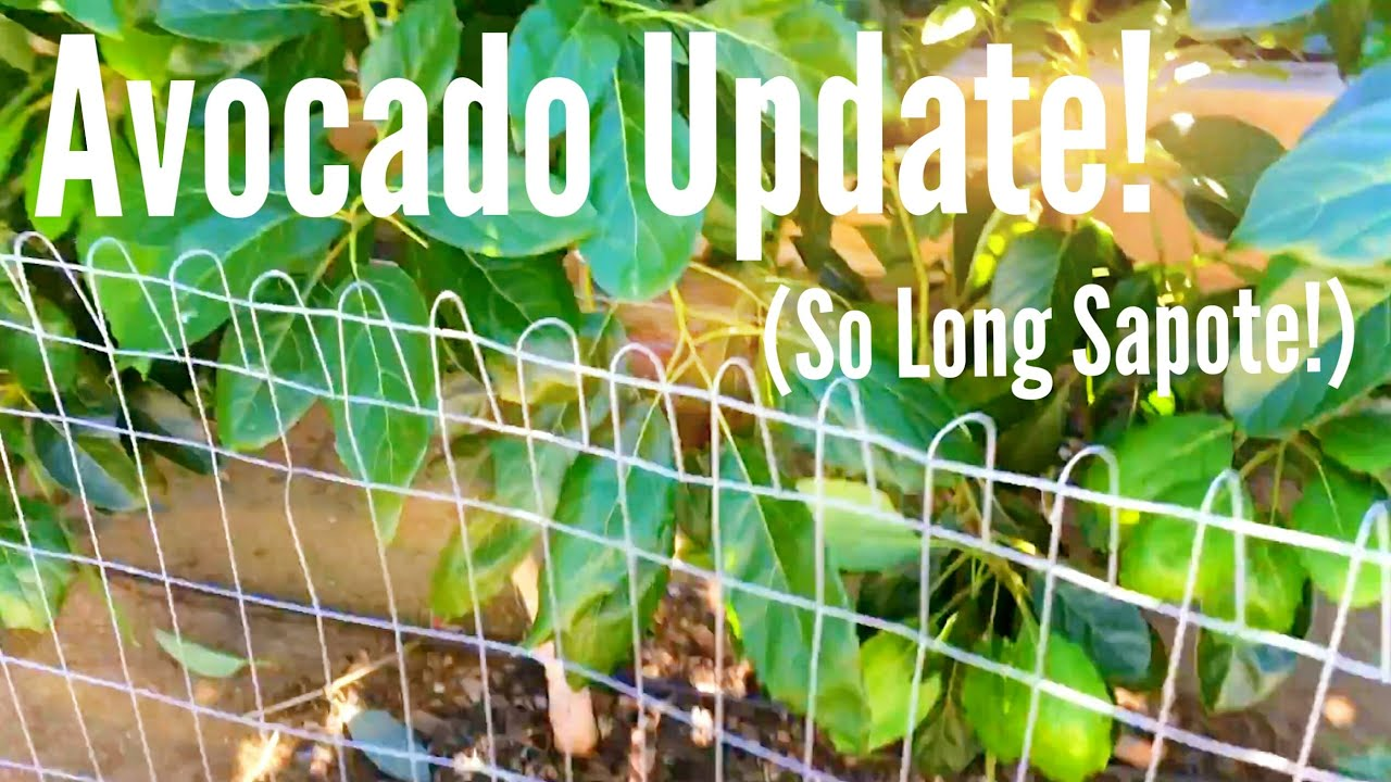 High Density Espalier Gardener - Avocado & Sapote 11-07-15