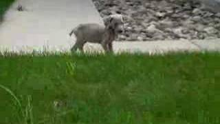 Tag Puppy Weimaraner Dog