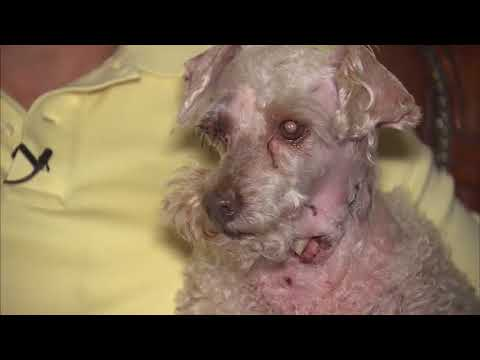 Poodle mauled by pit bulls in San Jacinto neighborhood