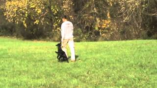 Demonstrating Basic Obedience And Casting Work - Dog Training