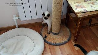 Как тайский котёнок Калиостро играл игрушечной мышкой! Тайские кошки - это чудо! Funny Cats