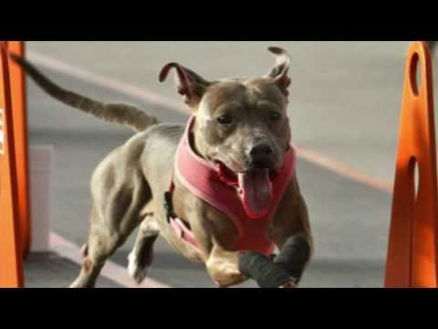American Pit Bull Terrier Team Flyball Racing