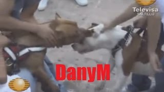 PELEA PITBULL FIGHT WHAT TO DO QUE HACER DanyM