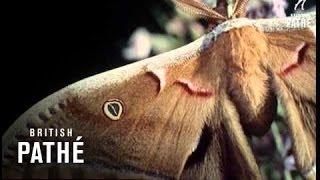 Moths (1955)