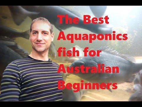 The Best Aquaponics Fish For Australian Beginners!
