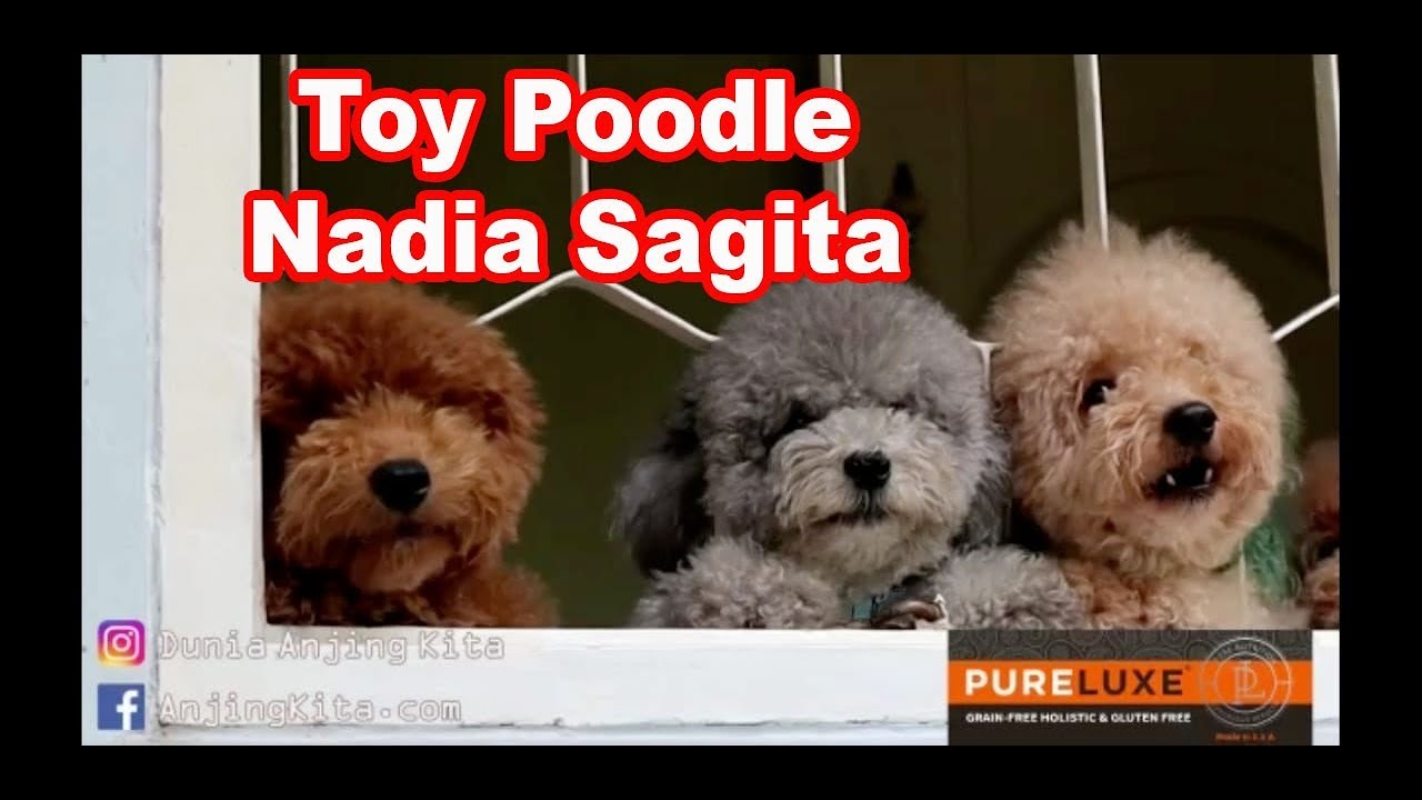 24+ Anjing toy poodle terupdate