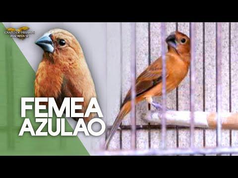 FÊMEA DE AZULÃO PIANDO E CHAMANDO PARA ESQUENTAR AZULÃO