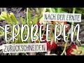 🍓 Erdbeeren Nach Der Ernte Zurückschneiden 🍓 Blätter Abschneiden | Kompost&Liebe