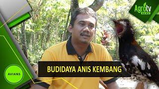 BUDIDAYA ANIS KEMBANG