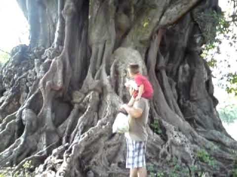 El arbol mas grande del mundo esta en jimalcota gro youtube for Arbol mas grande del mundo