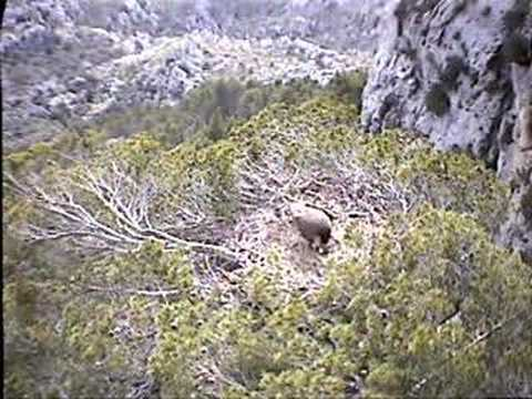 Black Vulture Nestcam #4: Caring for the New Egg