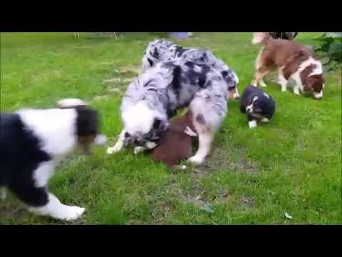 Australian Shepherd Puppies playing in the garden