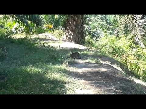 Kucing Hutan Malaysia (Gua musang)