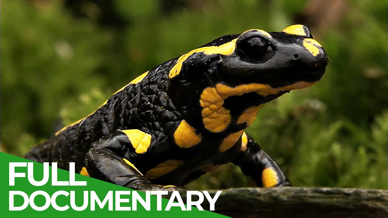 Fire Salamander: The prominent Inhabitant of German Forests | Free Documentary Nature