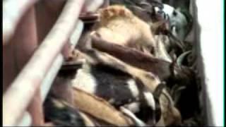 Goat Farming in India-Zero Grazing Sirohi Goat Breeding Farm-Unit 1