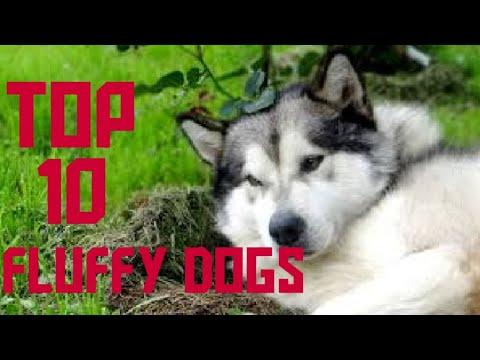 Top 10 Fluffy Dog Breeds