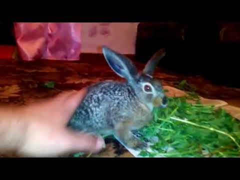 Вопрос: Как приручить дикого кролика?