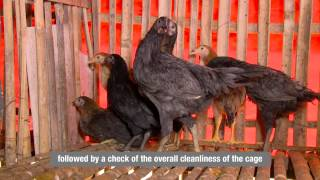 Agricultural development: Training Indonesia poultry farmers