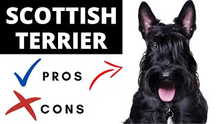 Scottish Terrier Pros And Cons   The Good AND The Bad!!