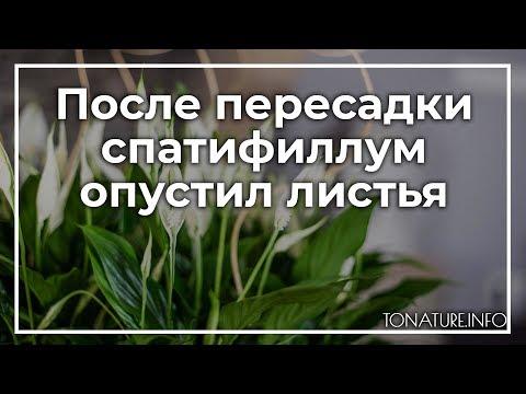 После пересадки спатифиллум опустил листья | toNature.Info